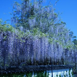 Wisteria flowers at Fujiyama Shrine